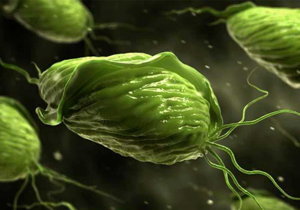 A Trichomonas forma kezelése gyomor paraziták elleni gyógymód